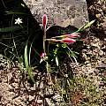 Hesperantha falcata, Little Karoo, Bob Rutemoeller