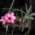 Hesperantha humilis, Bob Rutemoeller