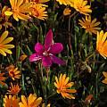 Hesperantha latifolia, Namaqualand, Bob Rutemoeller