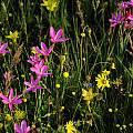 Hesperantha latifolia, Namaqualand, Mary Sue Ittner
