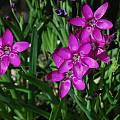 Hesperantha latifolia, Mary Sue Ittner