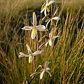 Hesperantha marlothii, Cameron McMaster [Shift+click to enlarge, Click to go to wiki entry]
