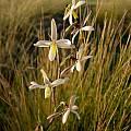 Hesperantha marlothii, Middelpos, Cameron McMaster