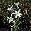 Hesperantha marlothii, Cameron McMaster