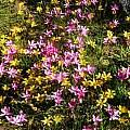 Hesperantha pauciflora with Romulea montana, Nieuwoudtville, Cameron McMaster