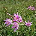 Hesperantha pulchra,  Dohne Peak, Cameron McMaster