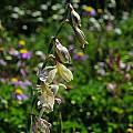 Hesperantha radiata, Middelpos, Mary Sue Ittner
