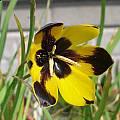 Hesperantha vaginata, Alan Horstmann
