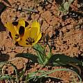 Hesperantha vaginata, Bob Rutemoeller