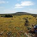 Hesperantha vaginata, habitat, Bob Rutemoeller