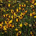 Hesperantha vaginata, Mary Sue Ittner