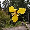 Hesperoxiphion peruvianum (yellow), Bob Rutemoeller