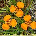 Hesperoxiphion peruvianum (orange), Bill Dijk
