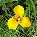 Hesperoxiphion peruvianum, Lee Poulsen