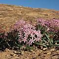 Hessea breviflora, Alan Horstmann
