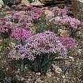 Hessea breviflora, Springbok, Rob Scott