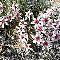 Hessea cinnamomea, Marian Oliver, iNaturalist, CC BY-NC
