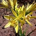 Hieronymiella aurea, in habitat, Mariano Saviello