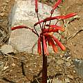 Hieronymiella marginata, Andrew Wilson