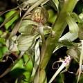 Himantoglossum hircinum pollen, Martin Bohnet
