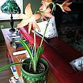 Long lived Hippeastrum, Ann Patterson