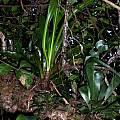 Hippeastrum aulicum, Tarcísio Eduardo Raduenz