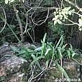 Hippeastrum euryphylla, Mariano Saviello