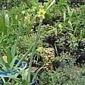 Hippeastrum euryphylla, Germán Roitman