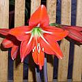 Hippeastrum miniatum, Doug Westfall [Shift+click to enlarge, Click to go to wiki entry]
