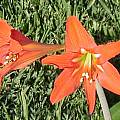 Hippeastrum petiolatum, Doug Westfall [Shift+click to enlarge, Click to go to wiki entry]