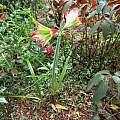 Hippeastrum psittacinum 'Atibaia', Allan Ladd