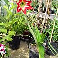 Hippeastrum sp., David Victor