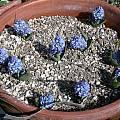Hyacinthella dalmatica, Jane McGary