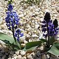 Hyacinthella glabrescens, John Lonsdale