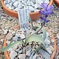 Hyacinthella heldreichii 19th April 2014, Rimmer de Vries