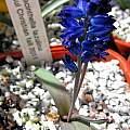Hyacinthella lazulina, Rimmer de Vries