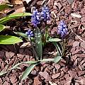 Hyacinthella millingenii, John Lonsdale