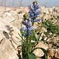 Hyacinthella nervosa, Oron Peri