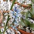 Hyacinthella nervosa 1st April 2014, Rimmer de Vries
