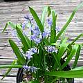 Hyacinthoides cedretorum, Mary Sue Ittner