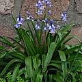 Hyacinthoides hispanica plants, Eugene Zielinski