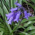 Hyacinthoides hispanica, Mary Sue Ittner