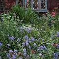 Hyacinthoides hispanica, Max Withers