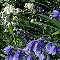 Hyacinthoides hybrid, David Pilling