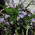 Hyacinthoides italica, Mary Sue Ittner