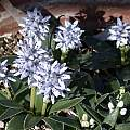 Hyacinthoides lingulata, Jane McGary