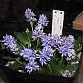 Hyacinthoides lingulata, Lee Poulsen