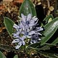 Hyacinthoides lingulata, Mary Sue Ittner
