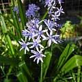 Hyacinthoides mauritanica, Mary Sue Ittner