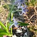 Hyacinthoides mauritanica ssp. mauritanica, Alessandro Marinello